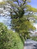 green hedgerow trees