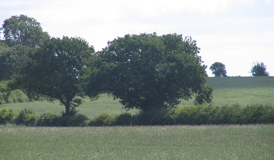 hedgerow trees