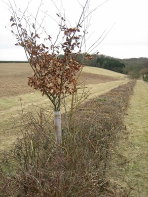 young tree stands clear of hedgerow
